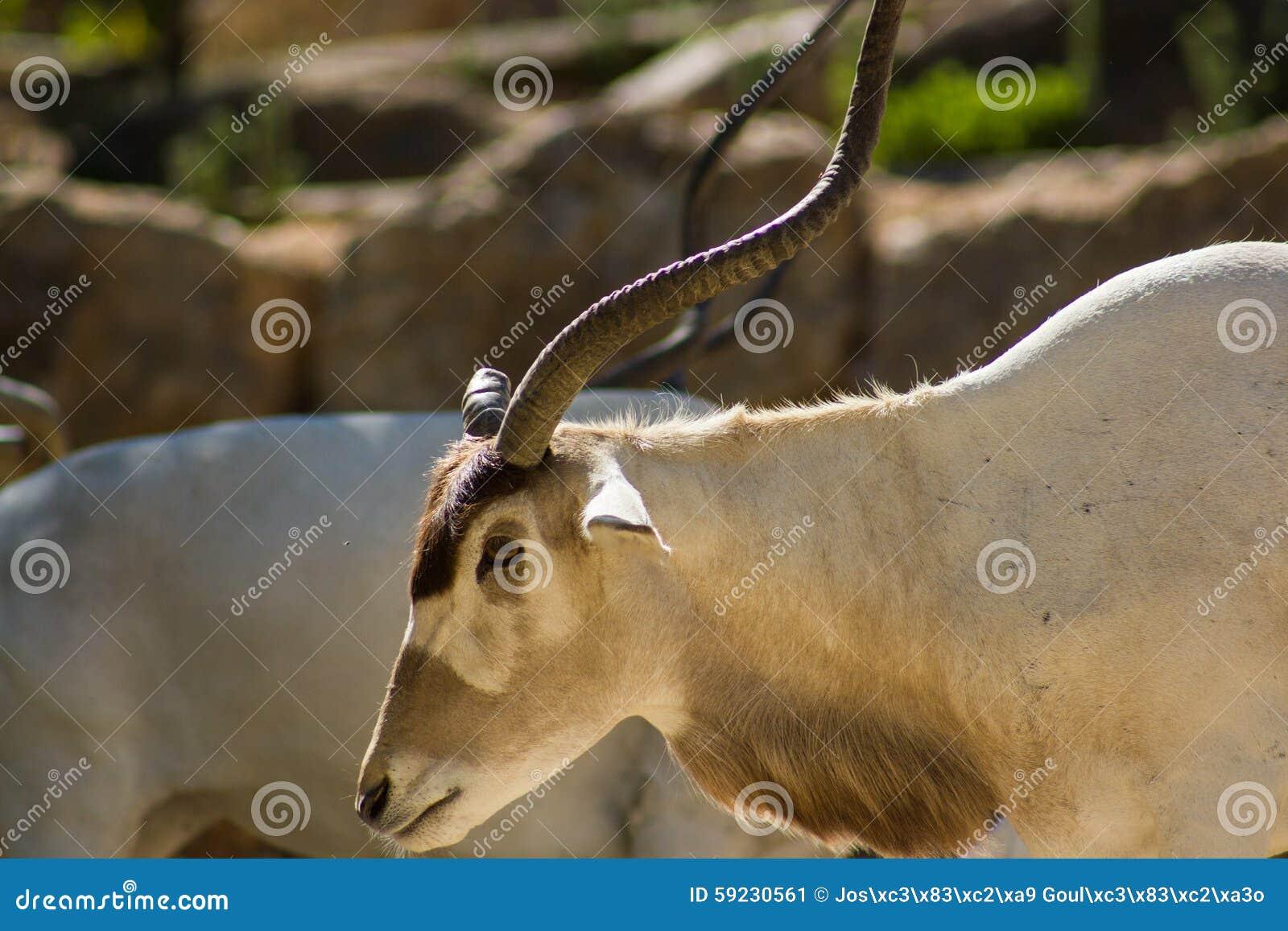 Download Addax (nasomaculatus Del Addax), Antílope Blanco O Antílope Del Screwhorn, Zoológico Imagen de archivo - Imagen de animales, cubo: 59230561
