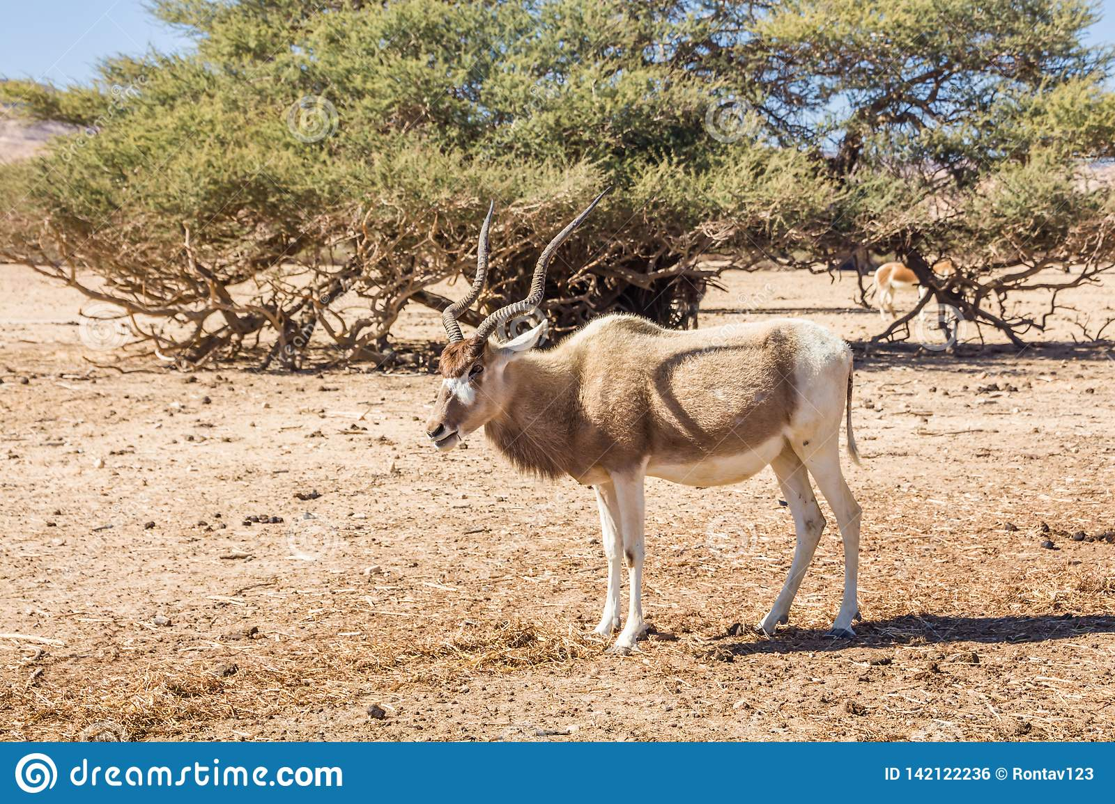 Addax Addax nasomaculatus in the `Hay-Bar` Yotvata Nature Reserve for restoration of extinct animals. South Israel