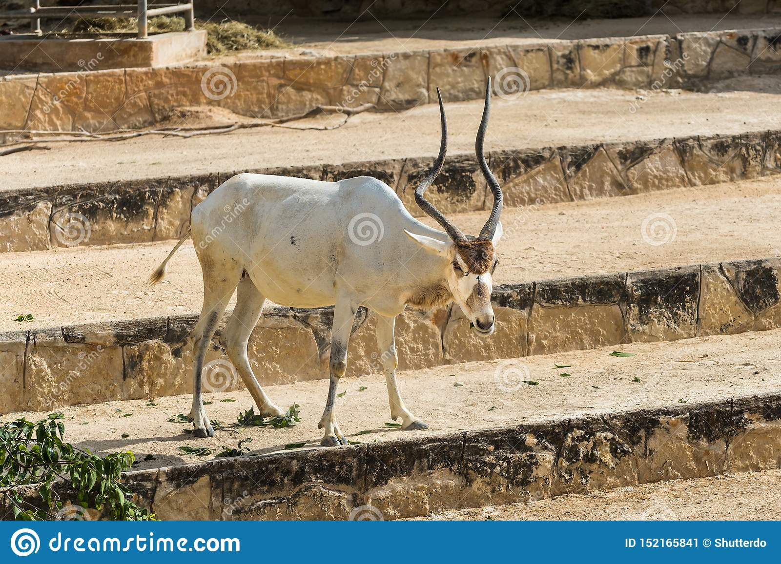 Addax or white antelope on steps