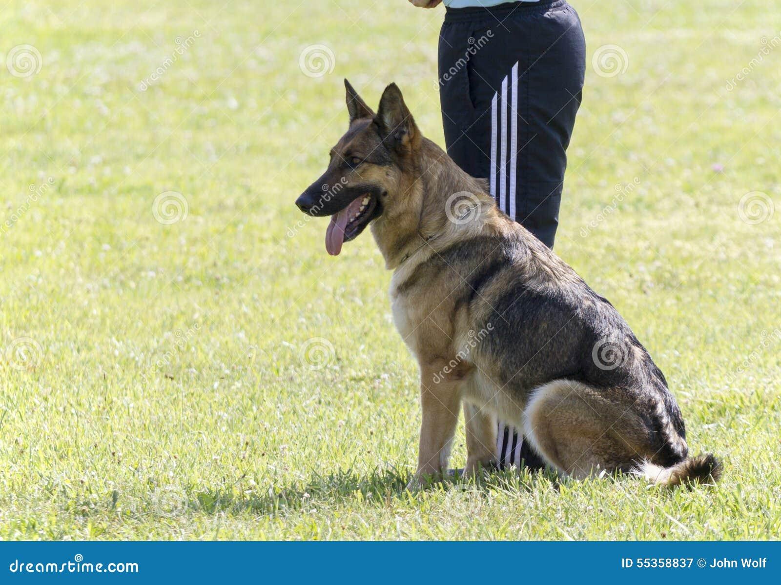 Addestramento di In Police K-9 del pastore tedesco