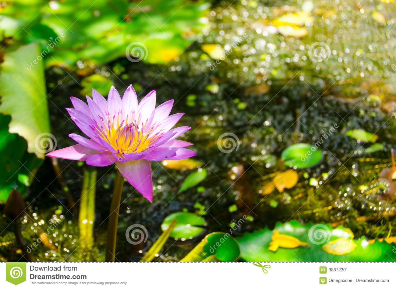 The Lotus Flower Is A Symbol Of Purity Stock Image Image Of