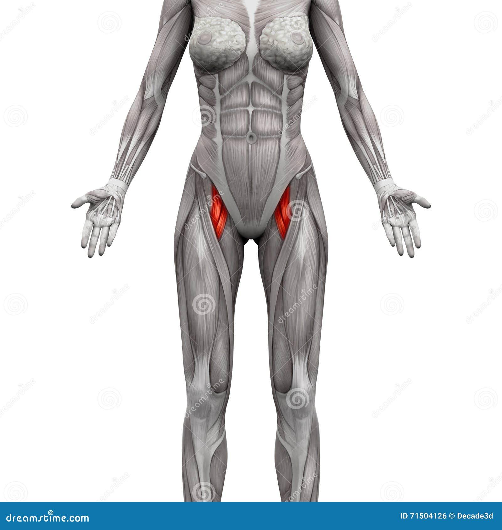 Fein Muskeln Diagramm Zeitgenössisch - Anatomie Ideen - finotti.info