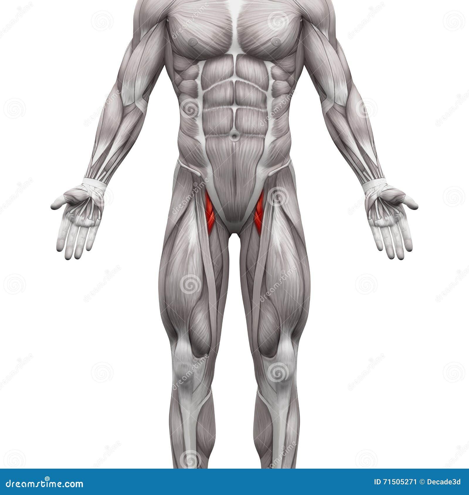 Fantastisch Die Menschliche Anatomie Muskeln Fotos - Menschliche ...