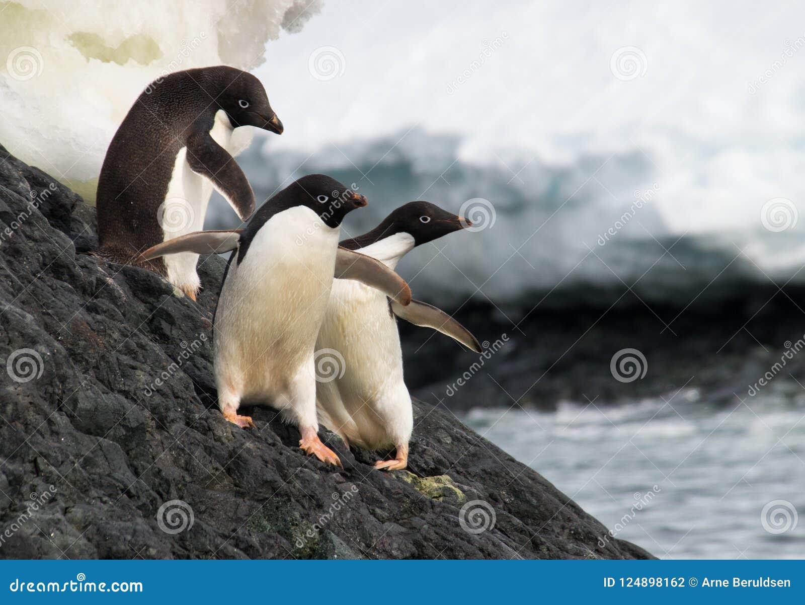 Adele Penguins en la Antártida