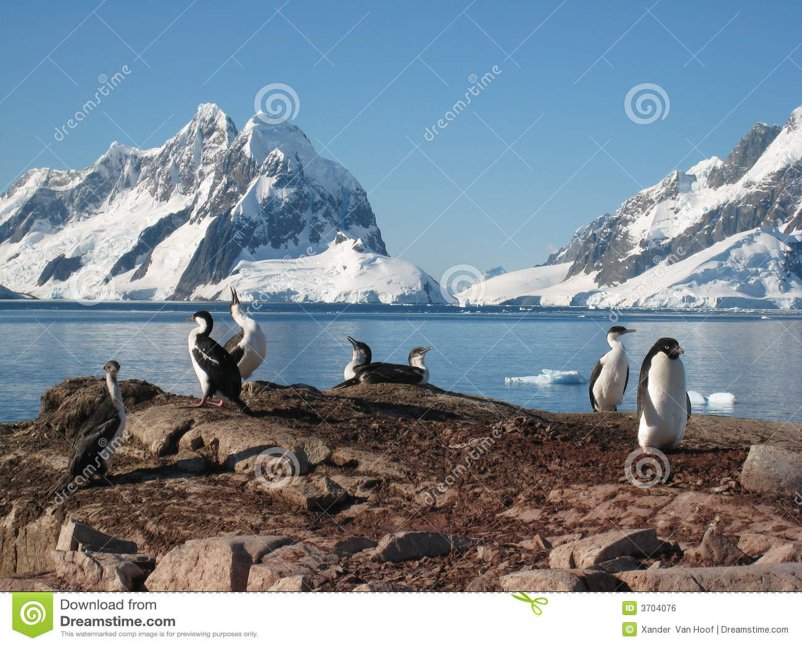 Adelie ανταρκτικά shags penguin petermann