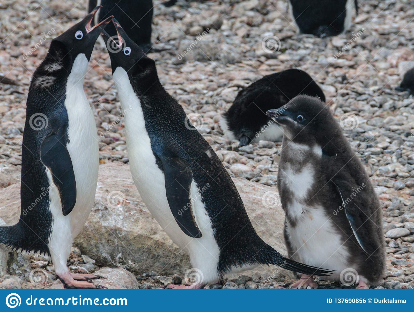 Adelie Penguin couple feeding their chick