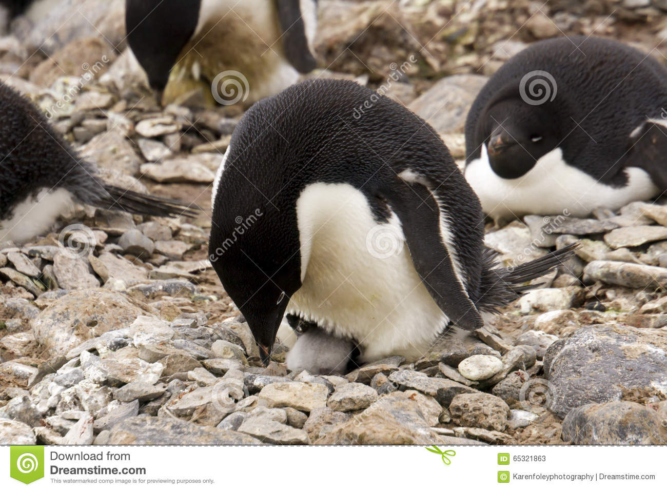 Penguin chick hatching - photo#19
