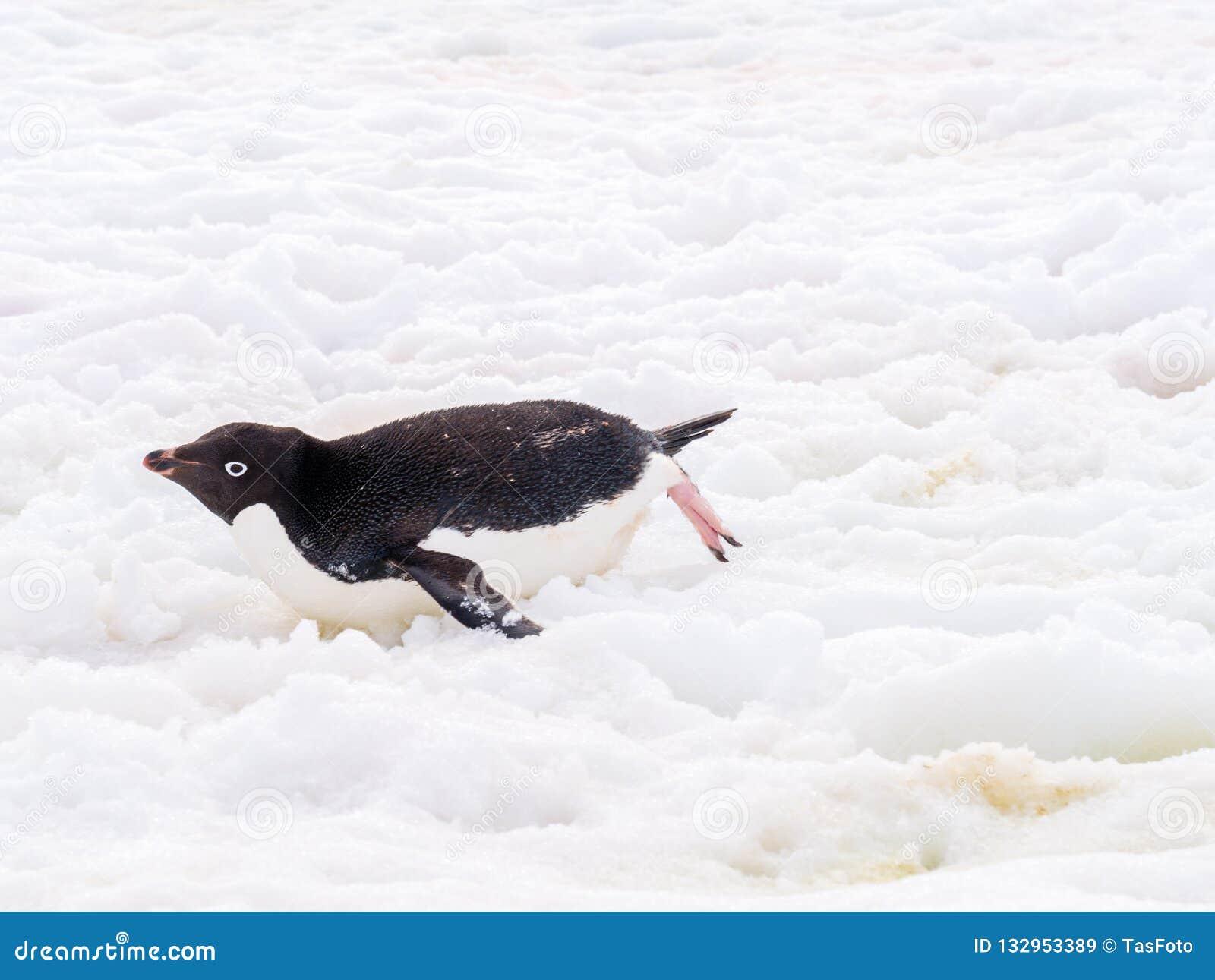 Adelie penguin, Pygoscelis adeliae, sliding across snow, Petermann Island, Antarctic Peninsula, Antarctica