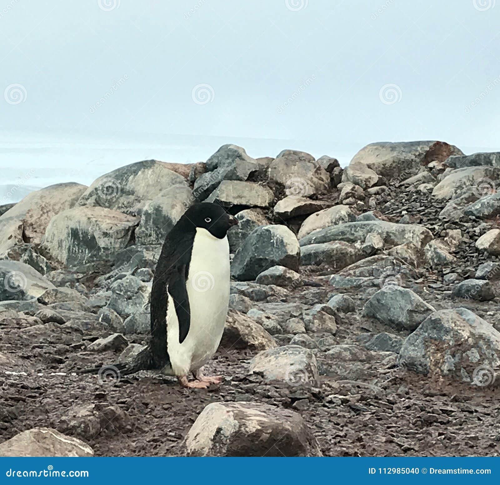 Adelie penguin on Fish Island, Antarctica