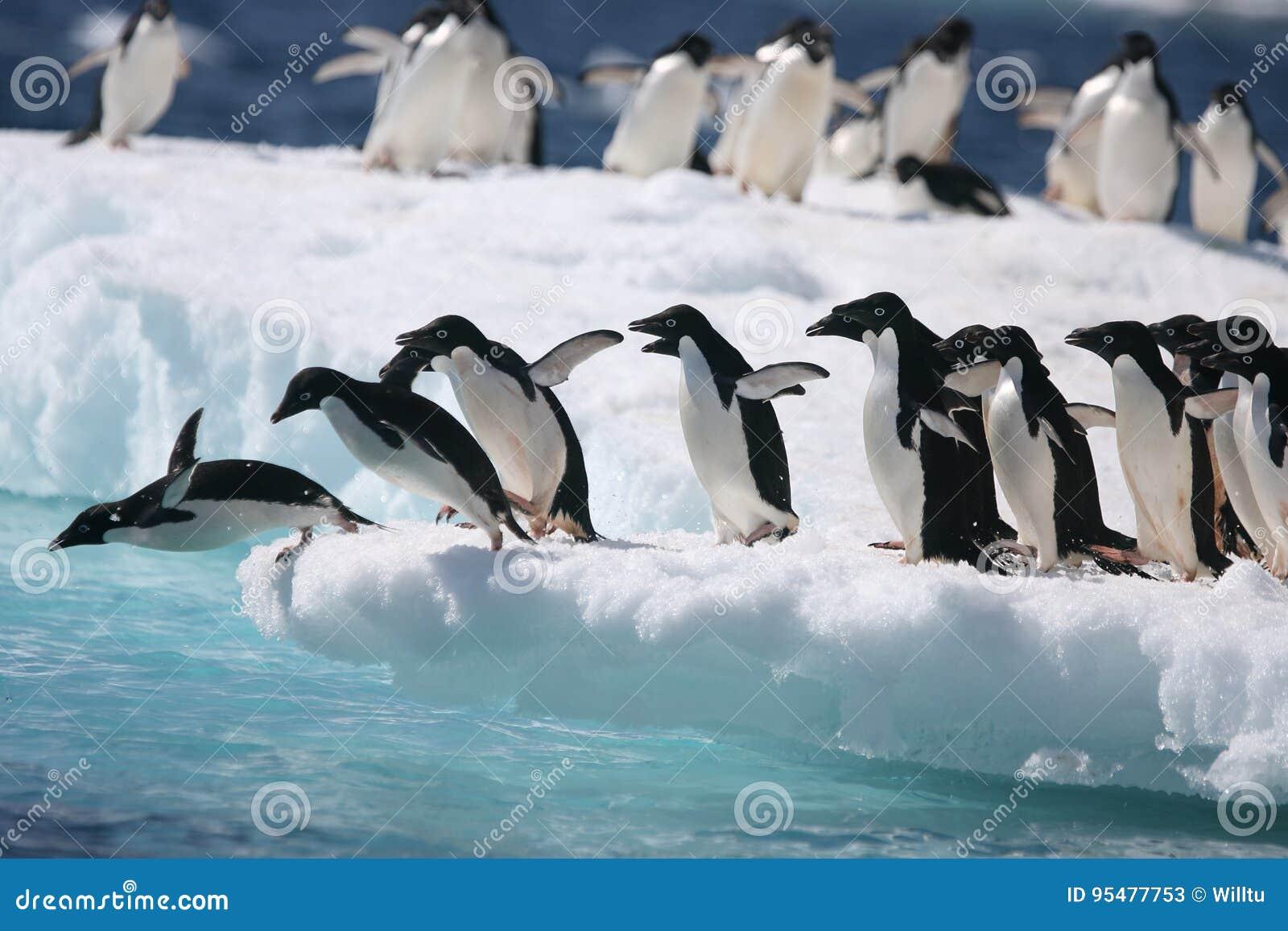 Adelie pingwiny zaczynają skok w ocean z Antarktycznej góry lodowa