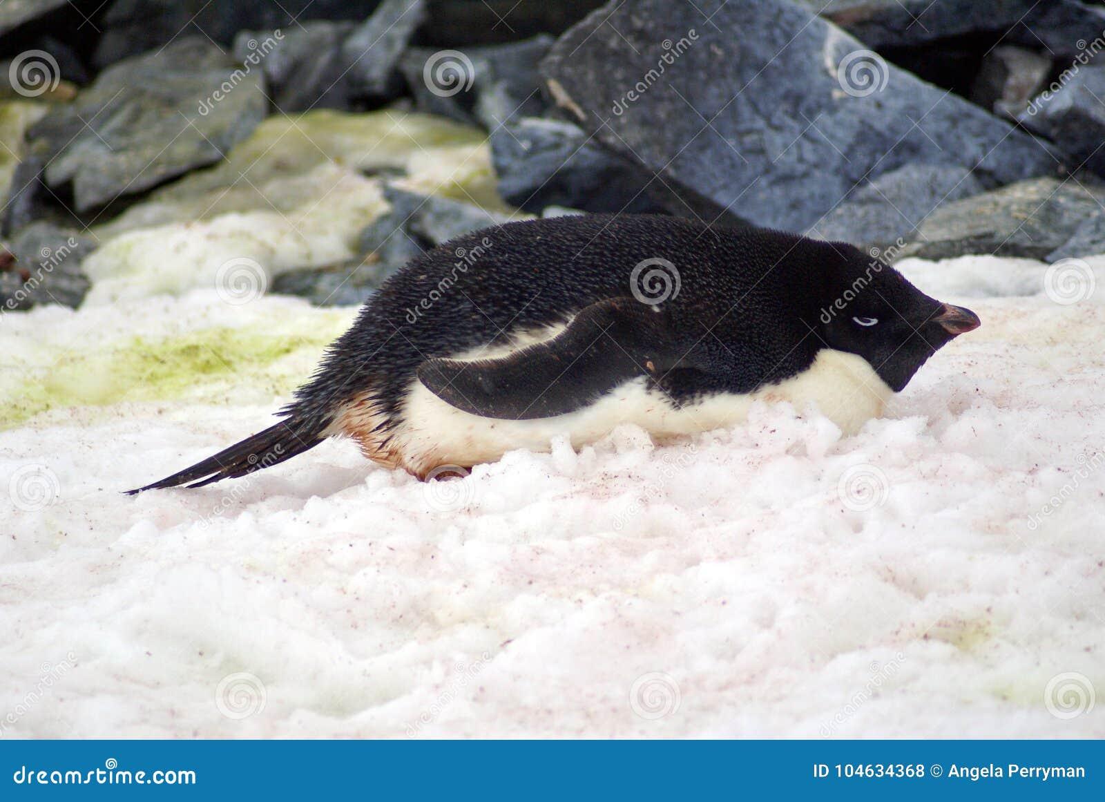 Download Adeliepinguïn Die In De Sneeuw Liggen Stock Foto - Afbeelding bestaande uit penguin, vogel: 104634368