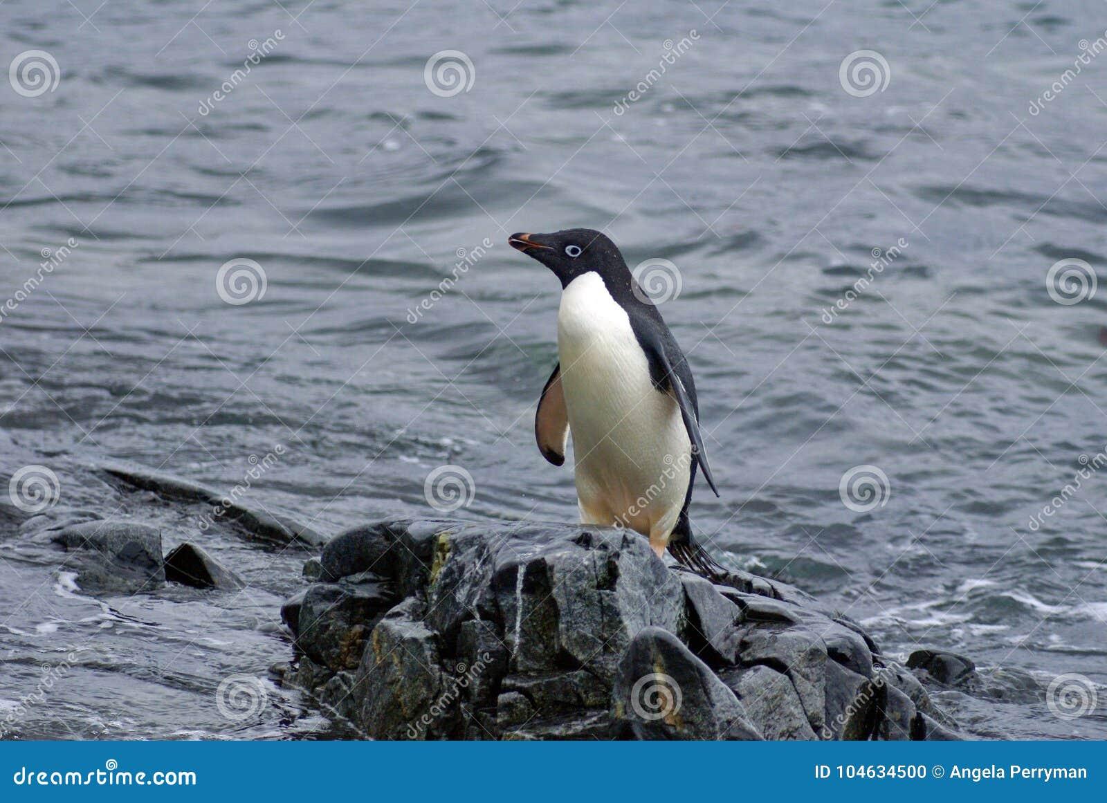 Download Adeliepinguïn Op Een Rots Bij De Rand Van Het Strand Stock Foto - Afbeelding bestaande uit zuiden, kust: 104634500