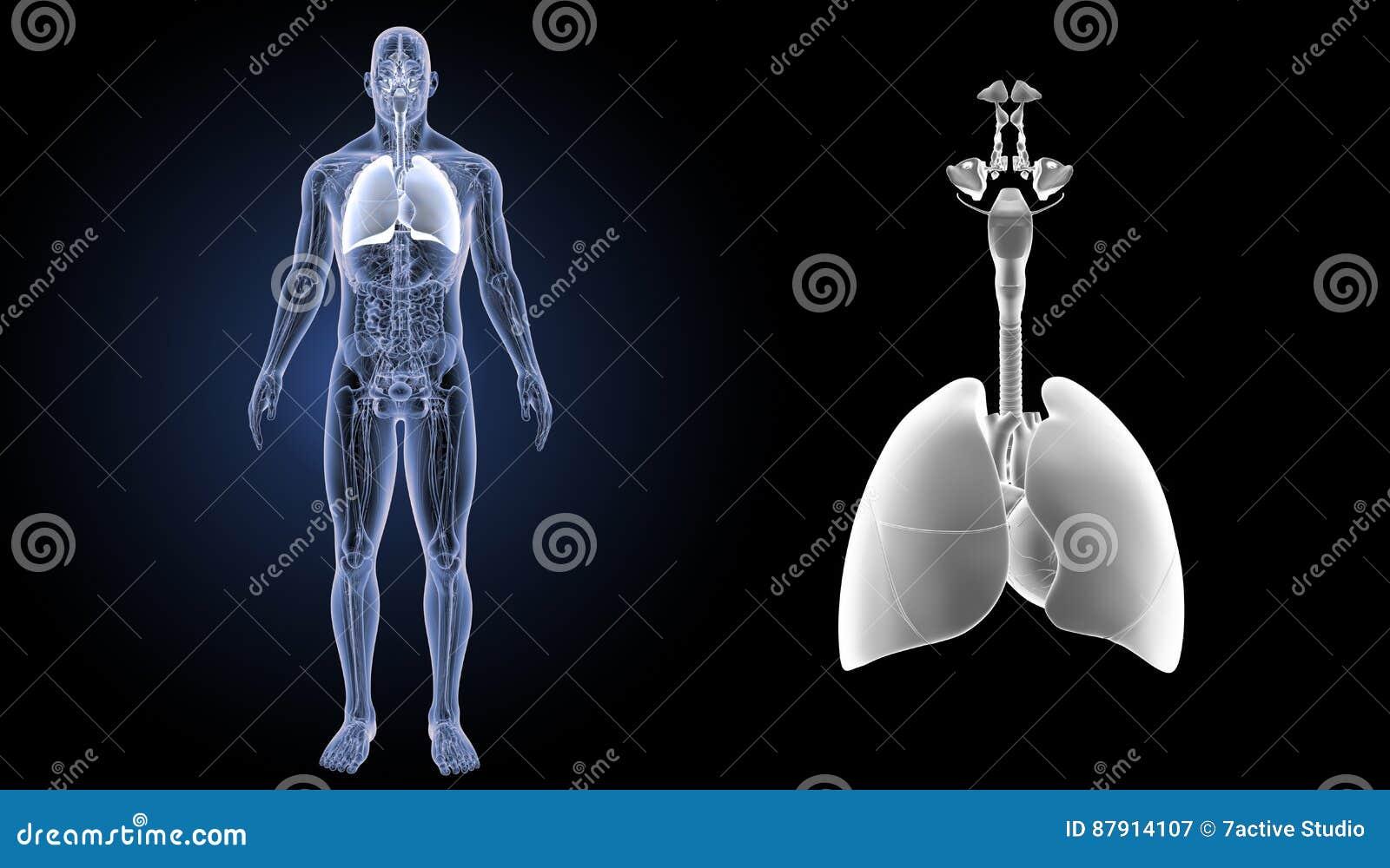 Ademhalingssysteem en Hartgezoem met anatomie voorafgaande mening