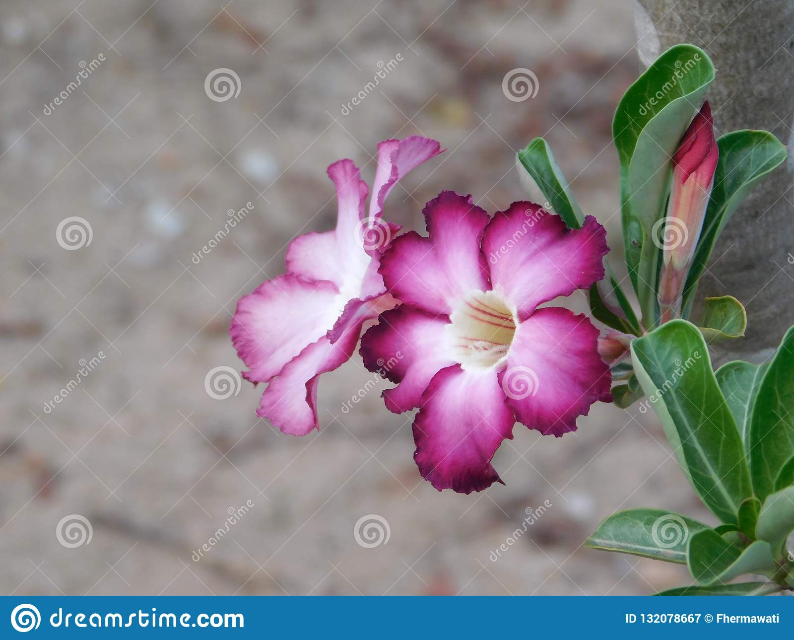 Adenium del púrpura y blanco