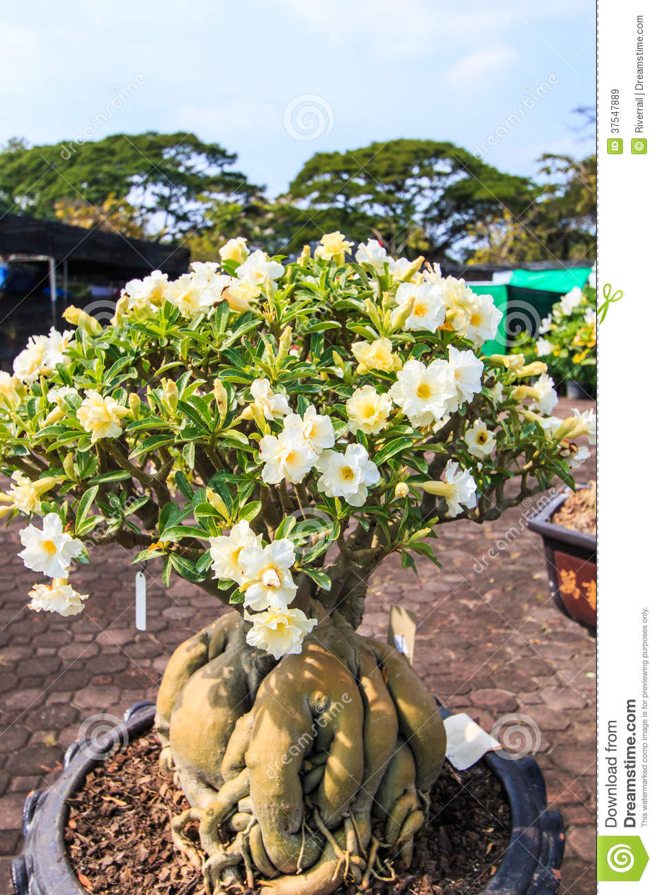 Adenium Obesum Or Bonsai Tree Royalty Free Stock Images