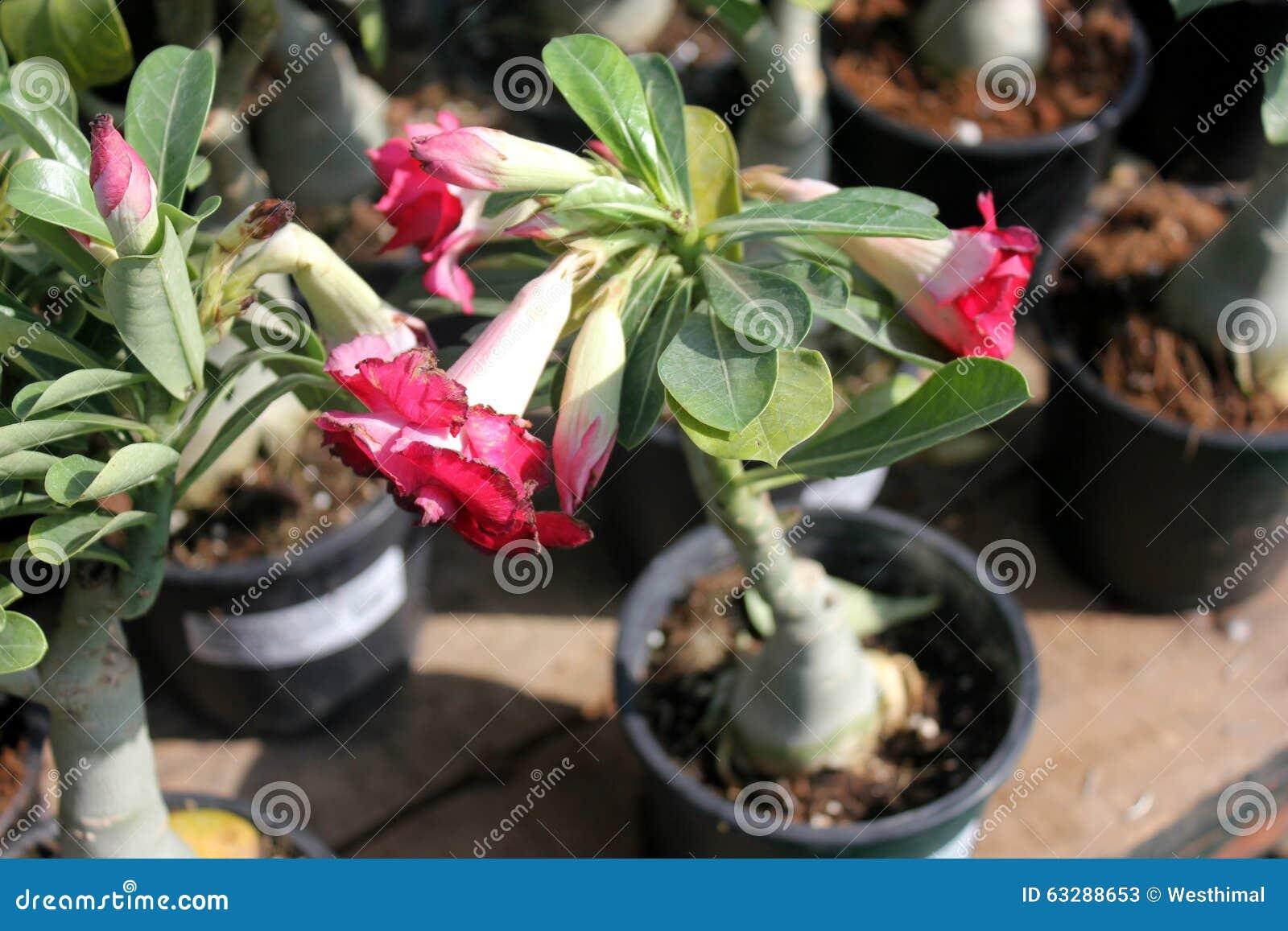 Adenium Obesum Desert Rose Stock Image Image Of Flowers Grown