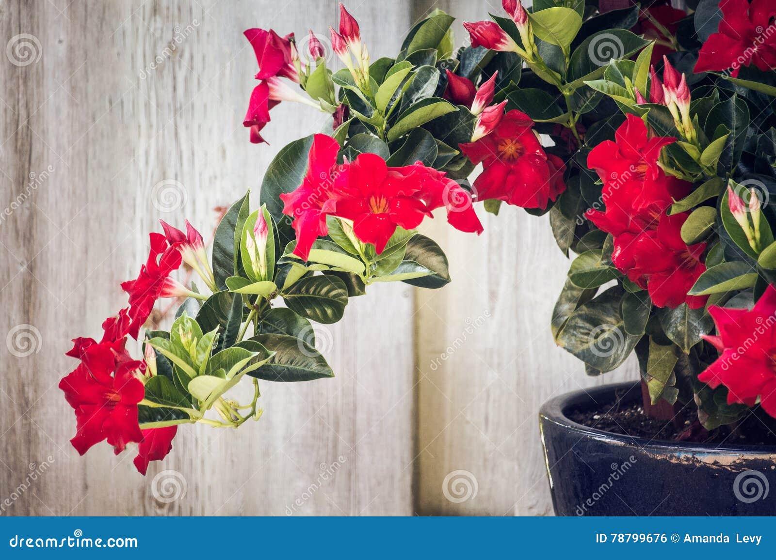 Adenium vermelho que cresce em um jardim