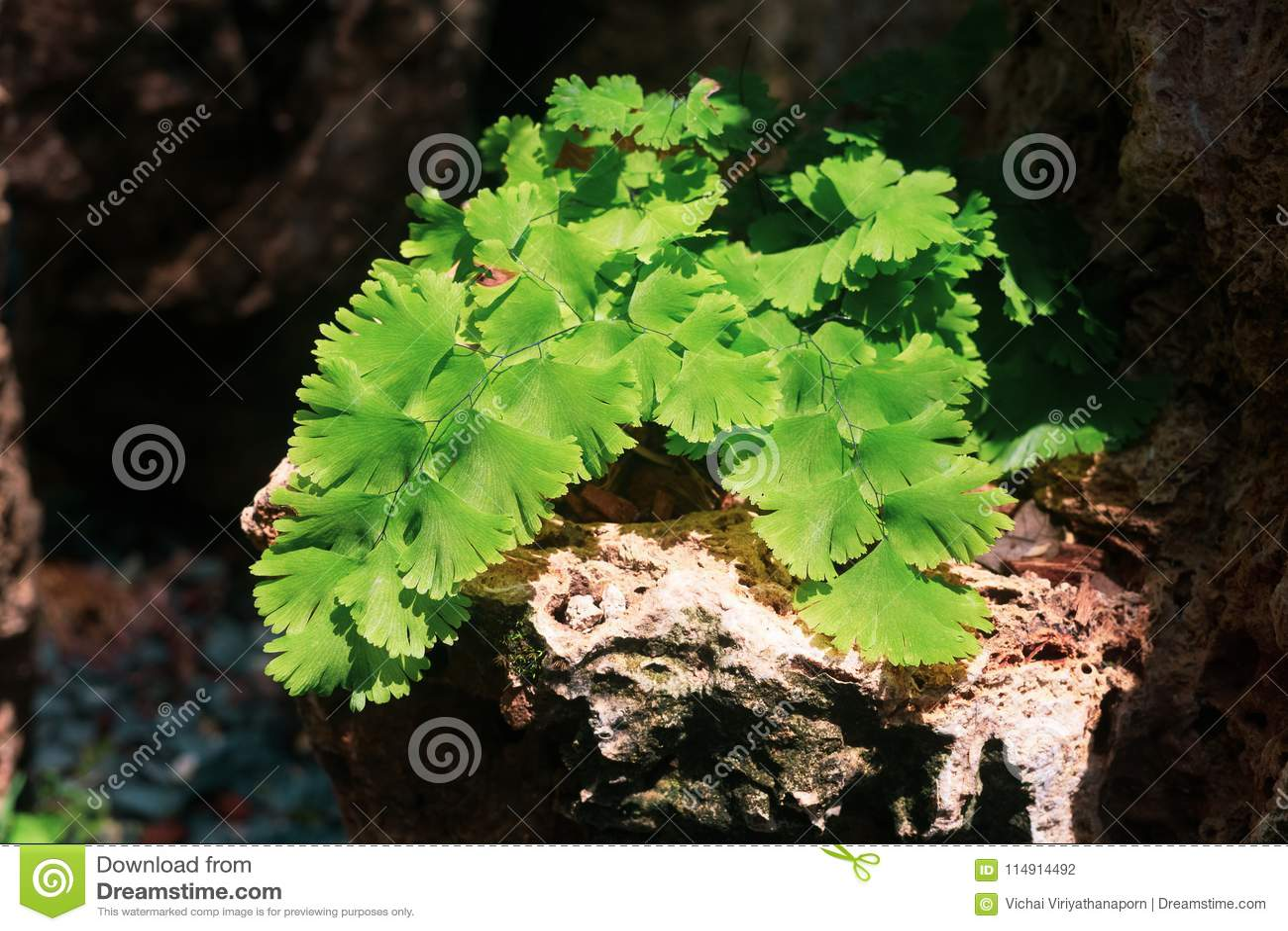 Adiantum capillus veneris or Southern Black Maidenhair fern. Close up of cute small green fern decoration in the tropical garden.