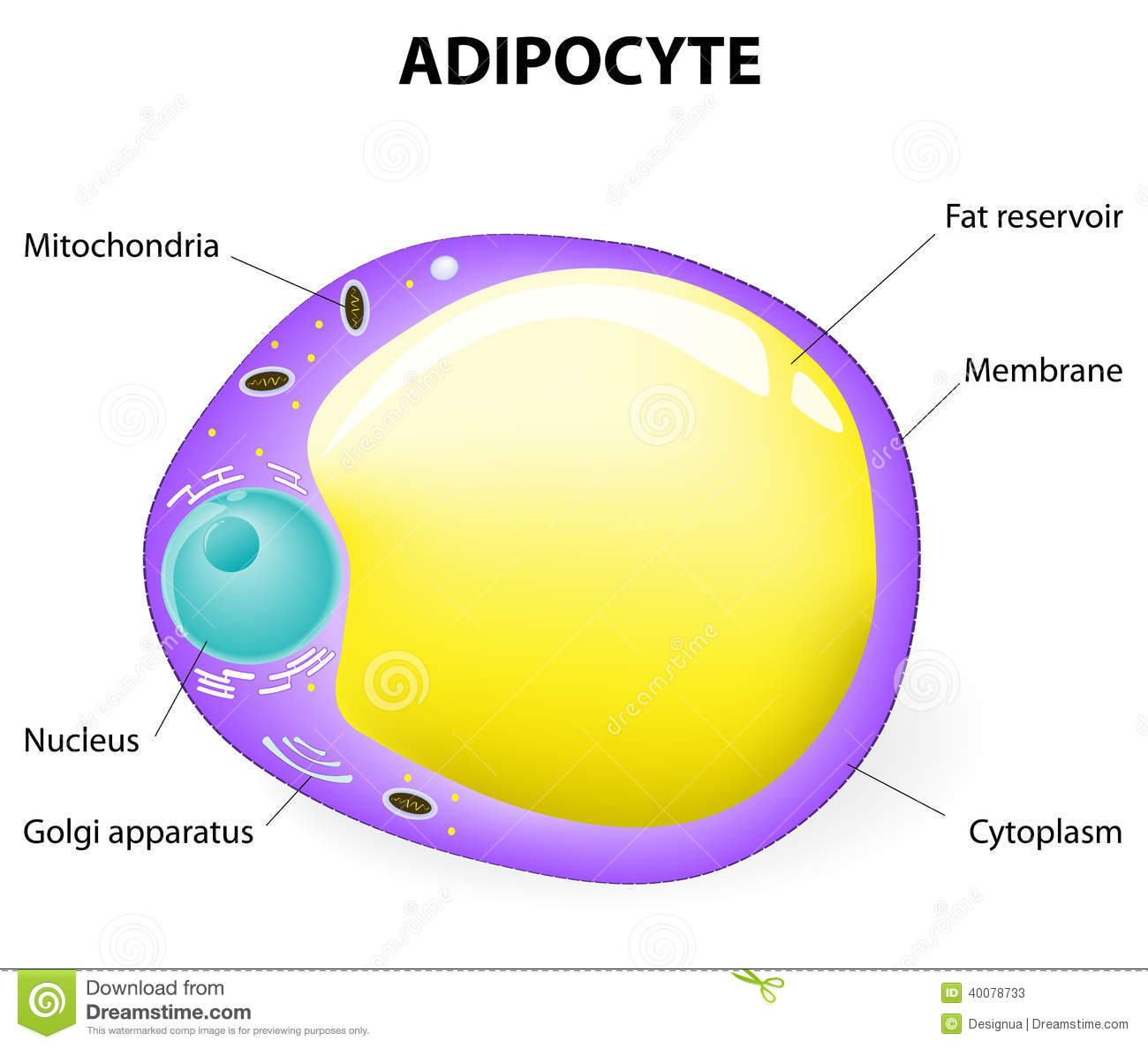 fat cell  adipocyte is responsible for accumulation energy, obesity, weight  gain and weight loss  vector diagram