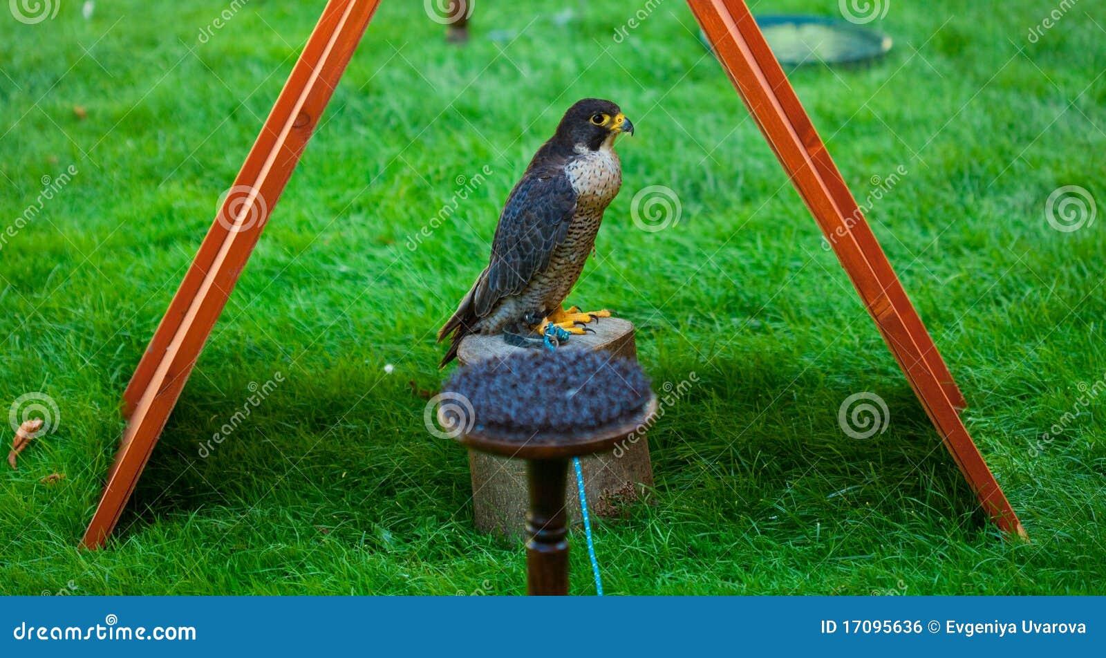 Adler auf einem Hintergrund des grünen Grases