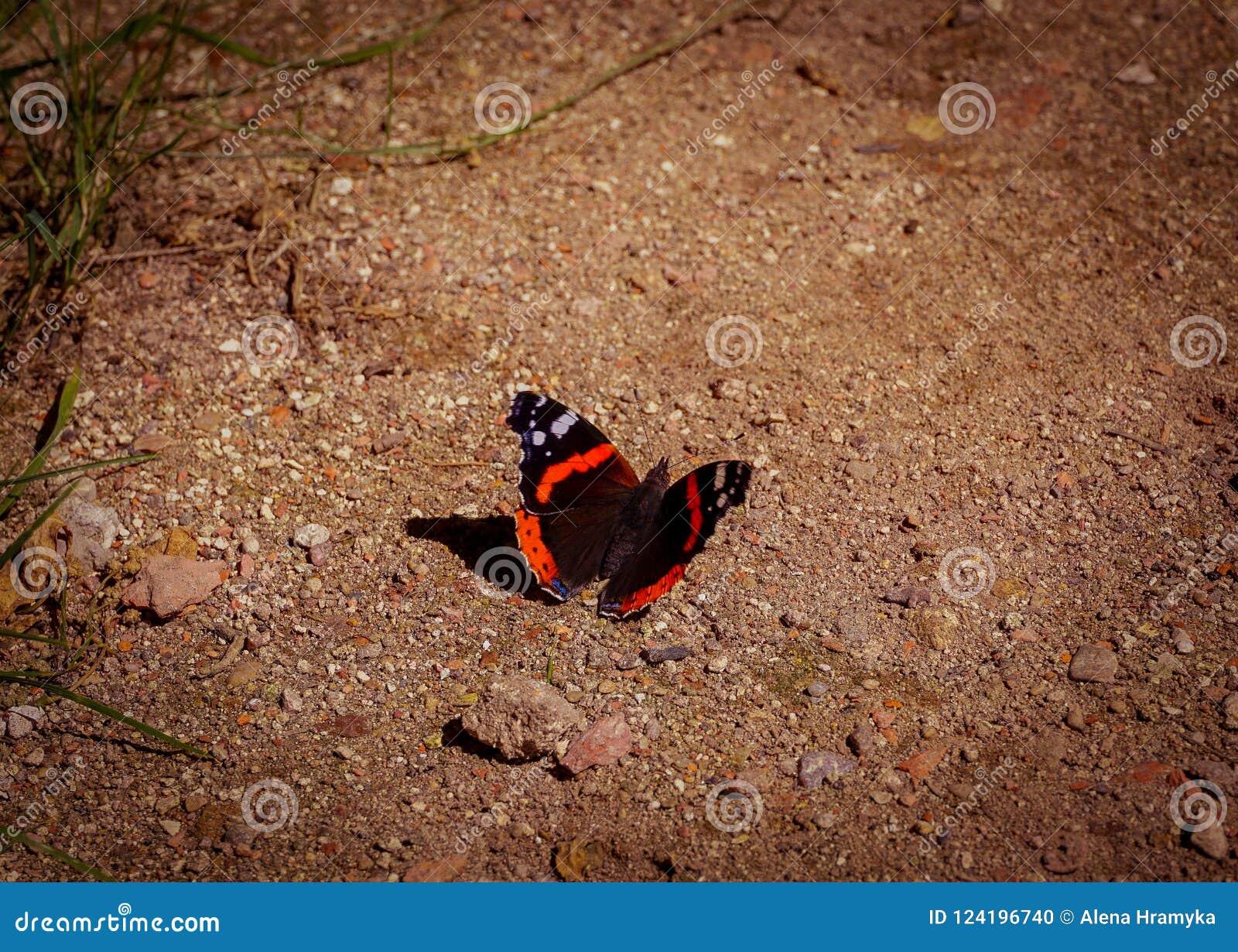 Admirável vermelho do almirante vermelho da borboleta, chamado no atalanta de Vanessa do latino, senta-se na terra arenosa, close
