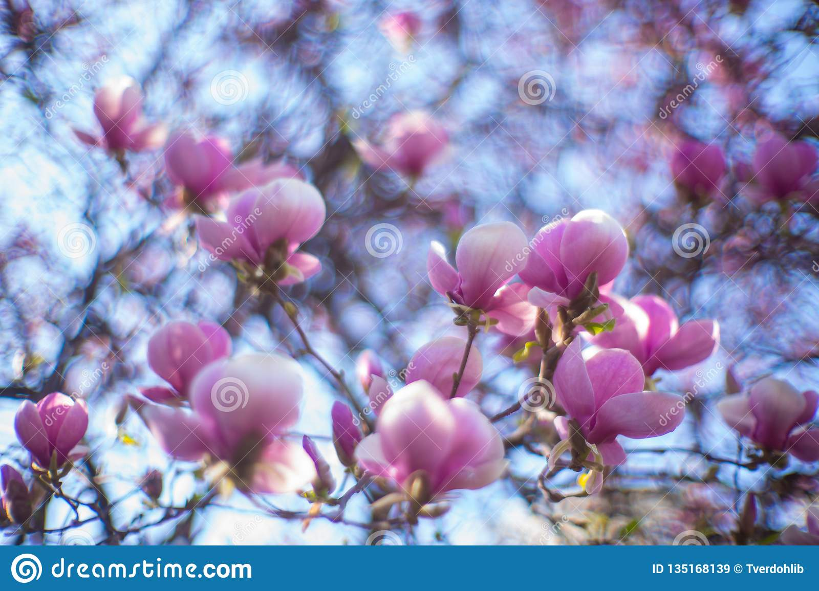 Admired Icons Of Spring Purple Magnolia Flowers In Full Bloom