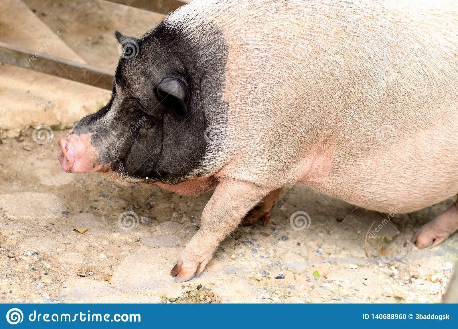 An adolescence black and white pot bellied pig is walking on the floor
