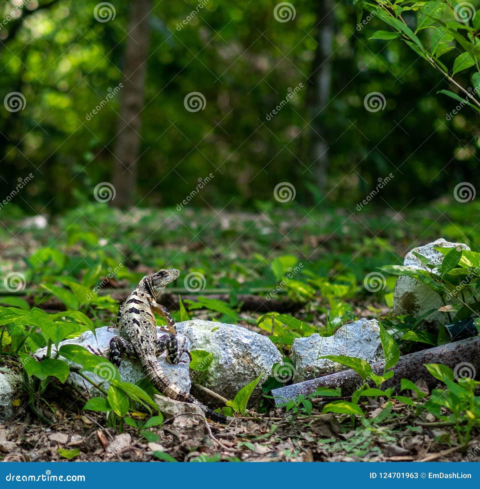 Adolescentie zwarte spiney-de steel verwijderde van similis van leguaanctenosaura in