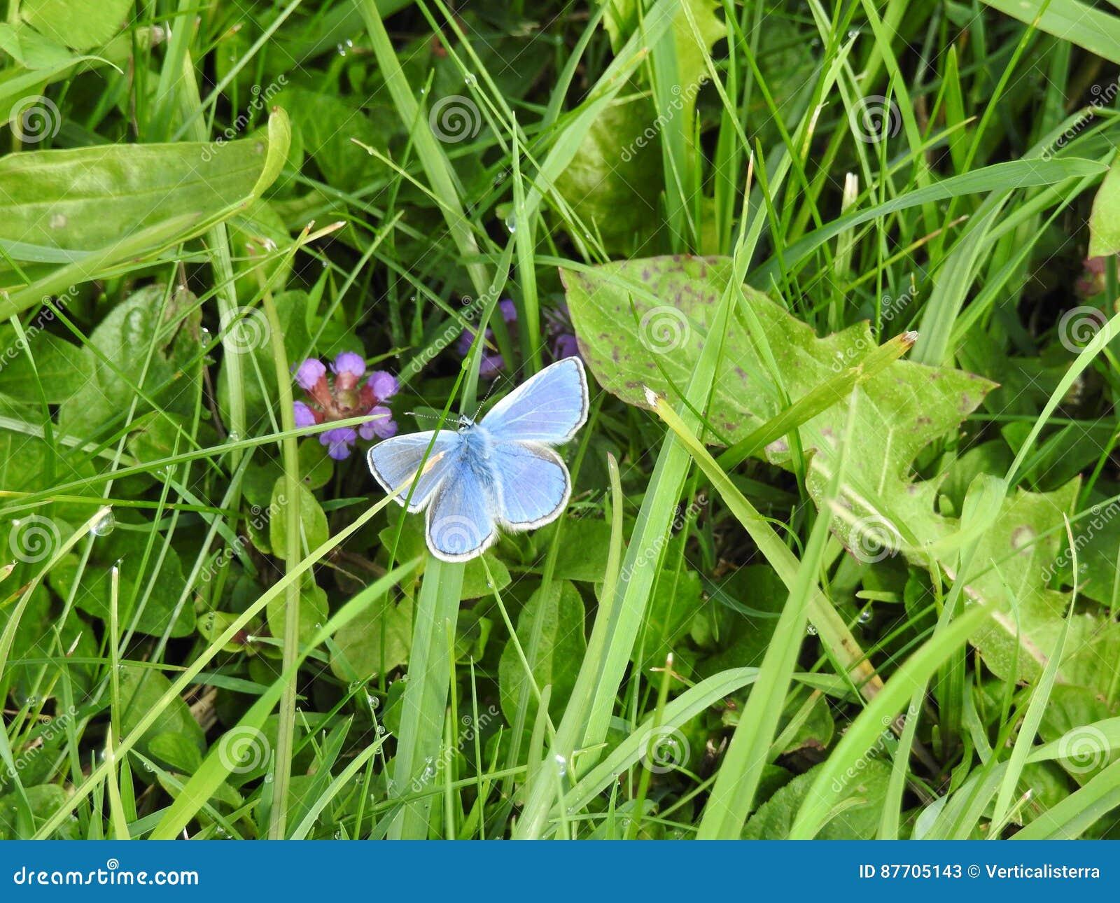 Adonis céleste d Argus ou bleu bleu est un petit papillon