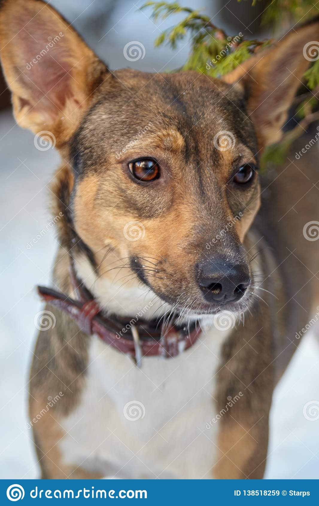 Adopted pretty mongrel previous stray dog stands alone at the snow background, with brown leather collar, attentive look.