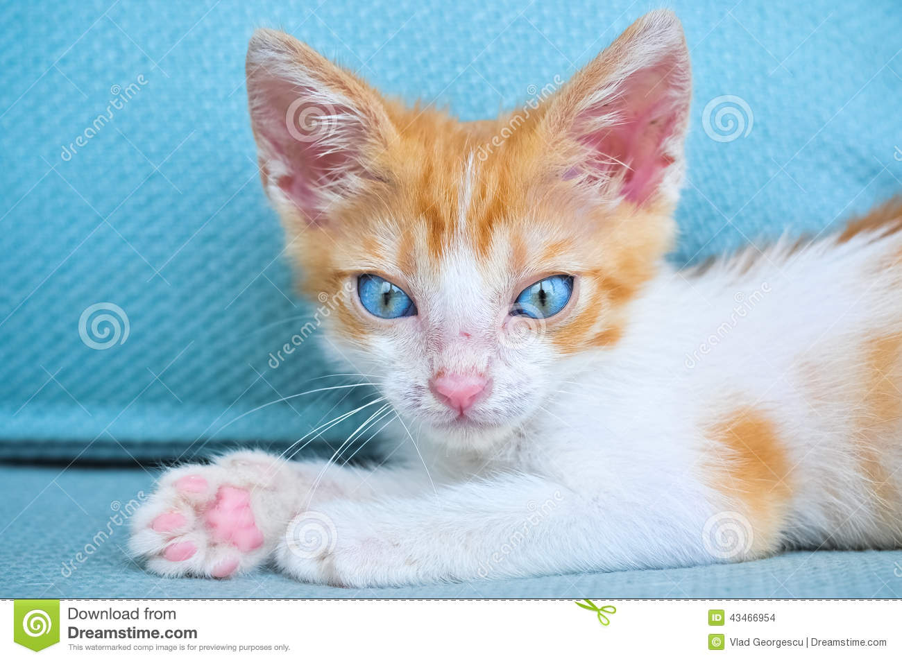 White Baby Kittens With Blue Eyes Adorable Baby C...