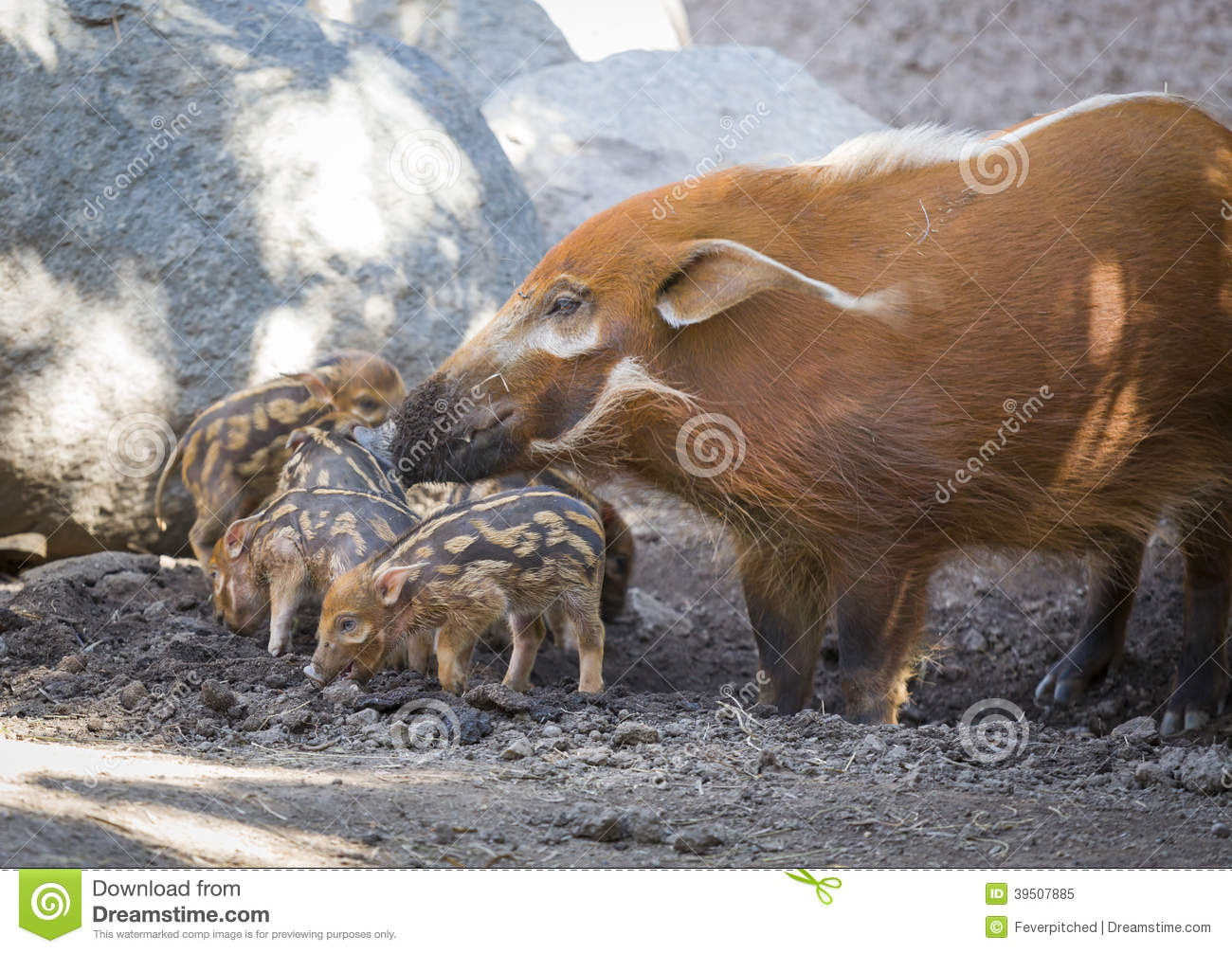 Adorable Baby Visayan Warty Piglets with Mother