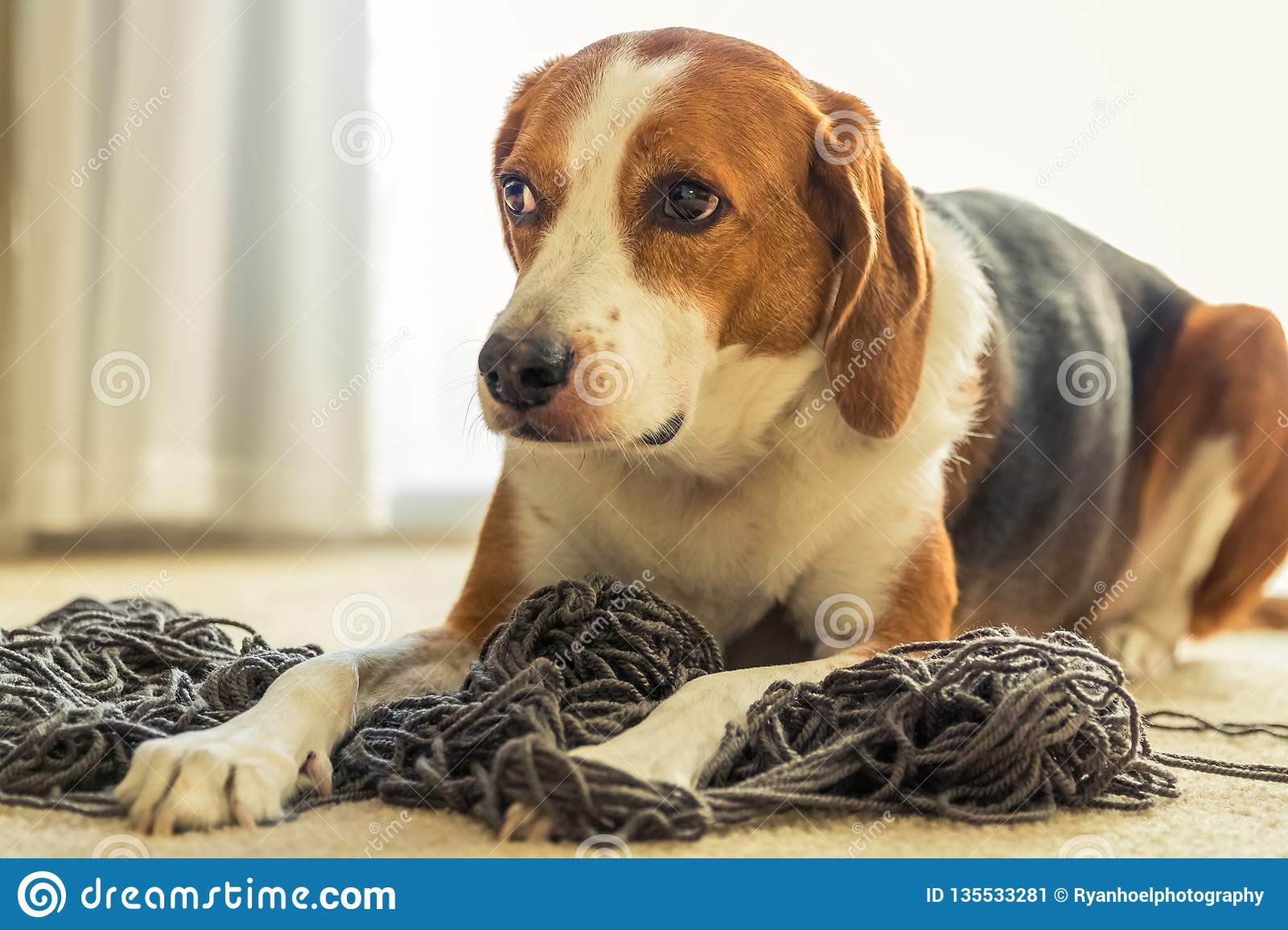 A Beagle Dog Laying Down In A Mess Of Tangled Yarn Beagle Dog Laying Down In A Mess Of Tangled Yarn Stock Image Image Of Colorful Hound 135533281