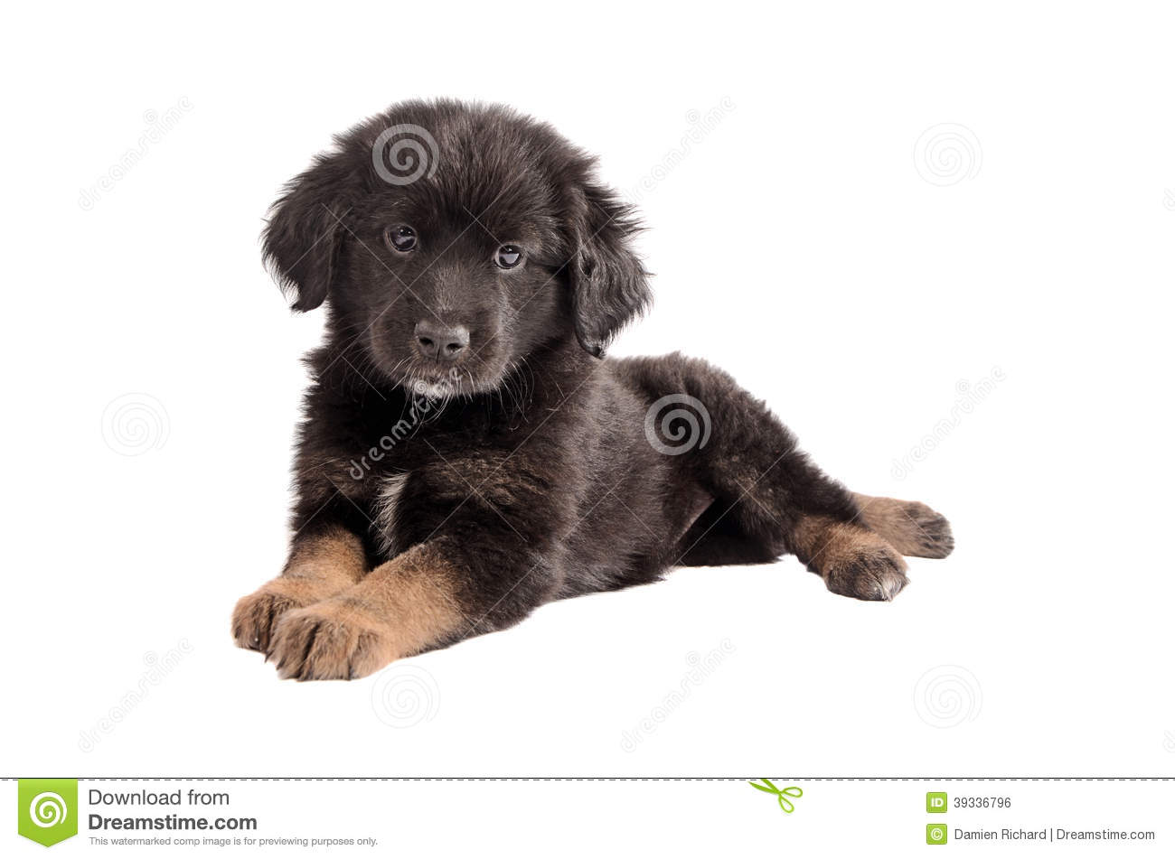 adorable black and brown fluffy puppy on white stock photo