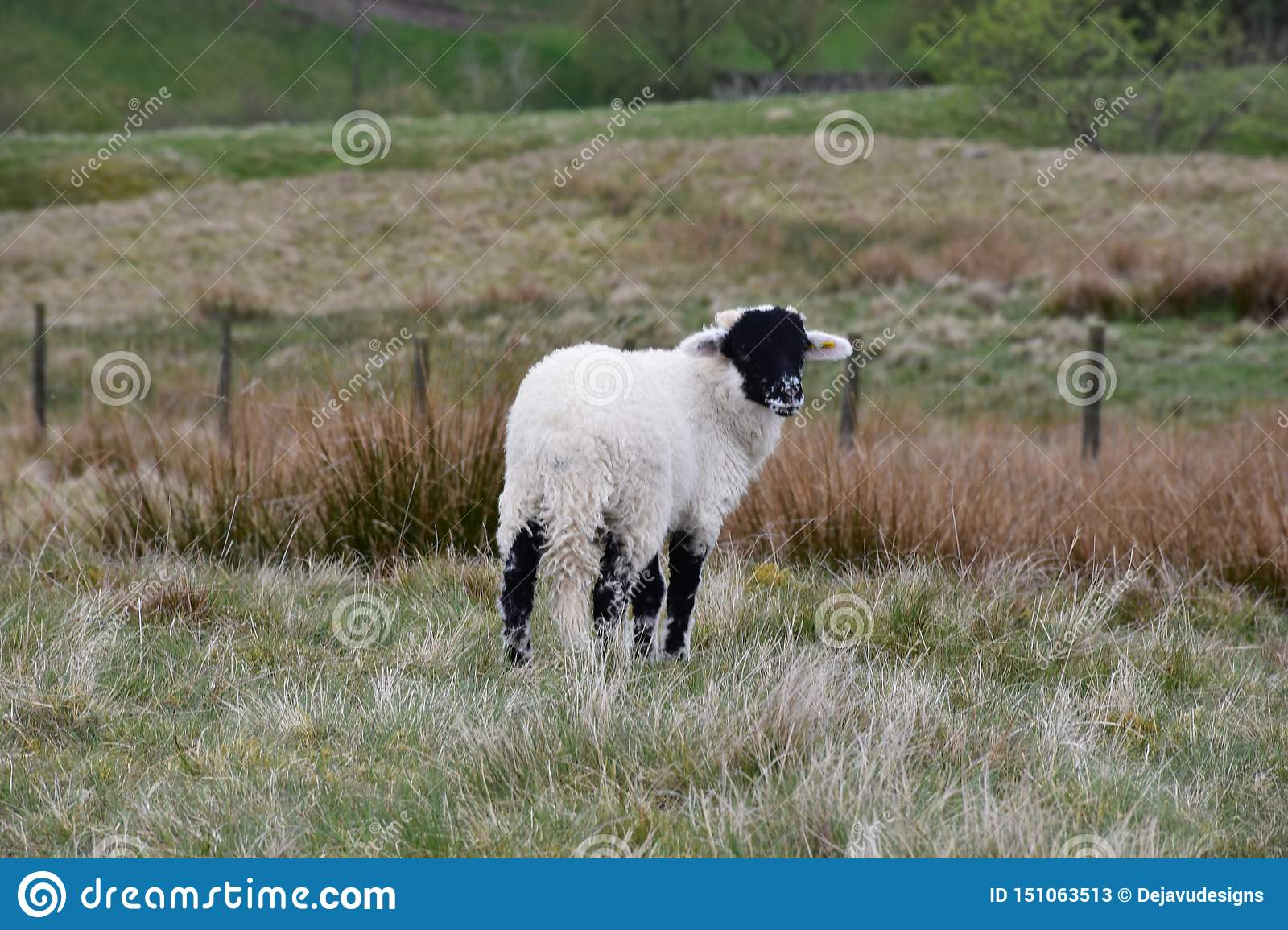 Adorable Black Faced Swaledale Lamb on the Moors