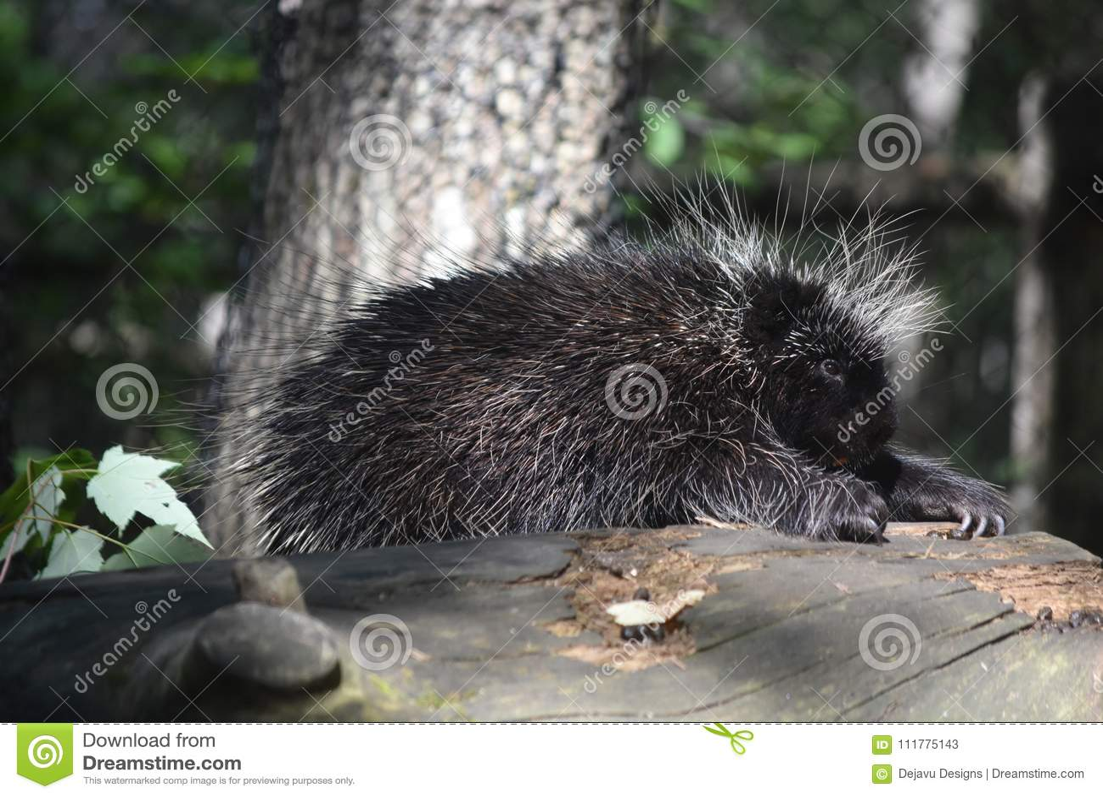 Adorable black porcupine climbing over a log