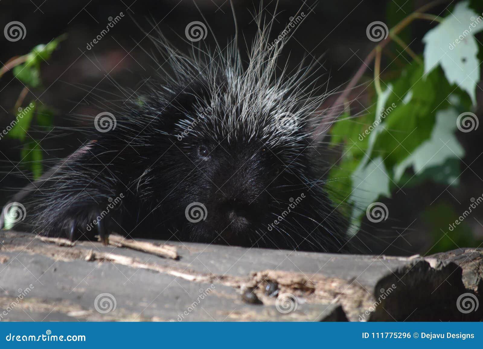 Pretty black porcupine climbing over a large log