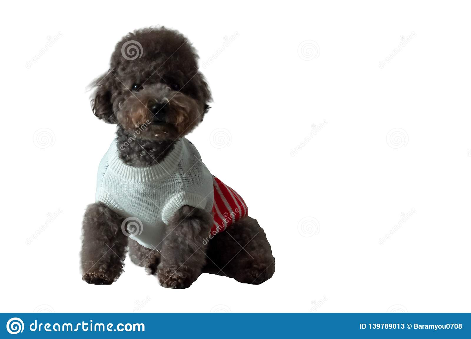 An adorable black toy Poodle dog with his dress
