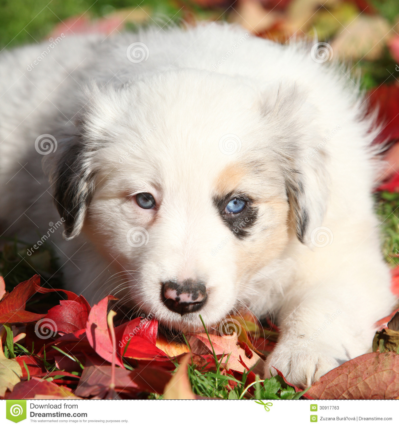 Adorable Border Collie Puppy Lying In Red Leaves Stock Photo