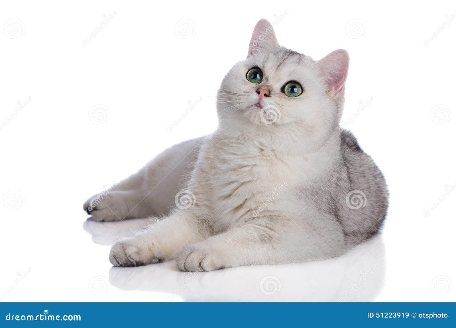 Adorable British Shorthair Kitten White Stock Image