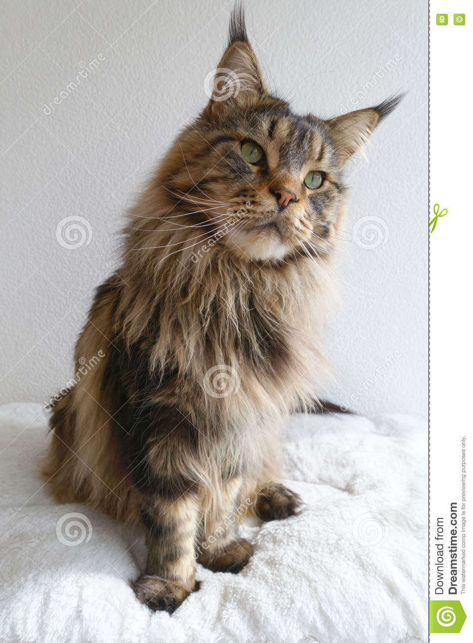 Brown Maine Coon Cat Lying Looks Curious Isolated Black
