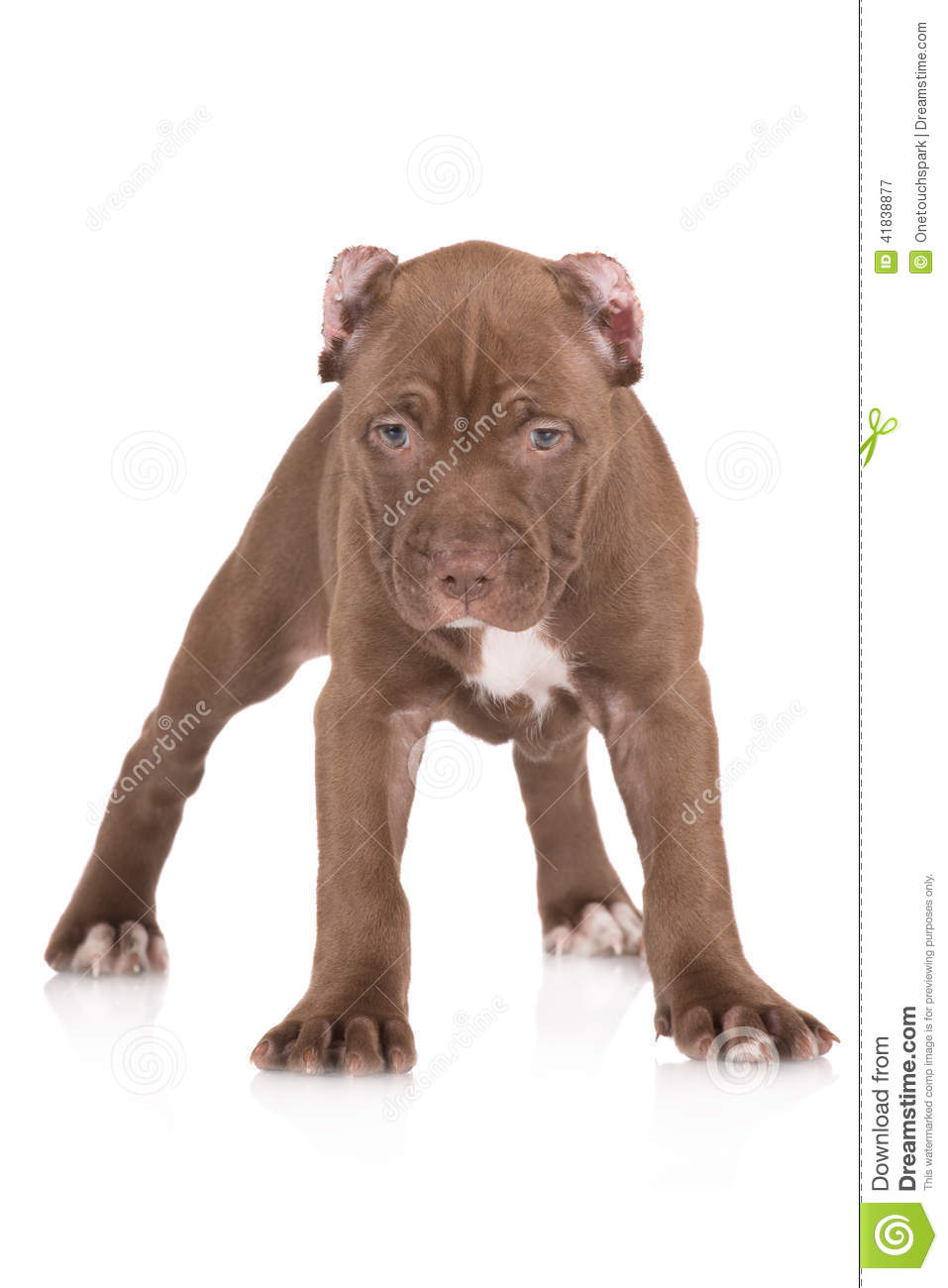 Adorable Chocolate Brown Pit Bull Puppy Stock Photo ...