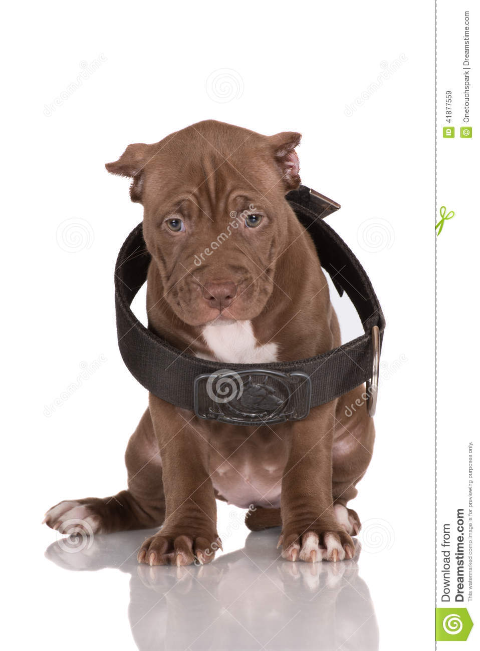 Adorable Chocolate Brown Pit Bull Puppy Stock Image ...