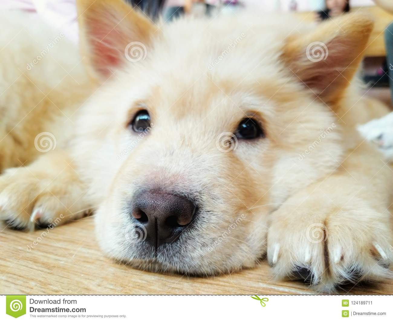 Adorable Chow Chow Puppy Stock Image Image Of Portrait 124189711