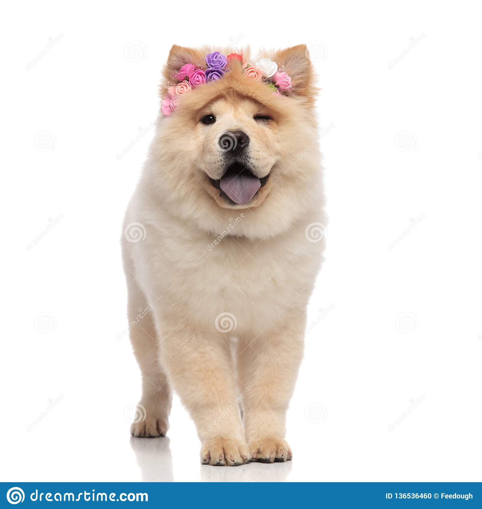 Adorable chow chow wearing fresh flowers headband panting and winking