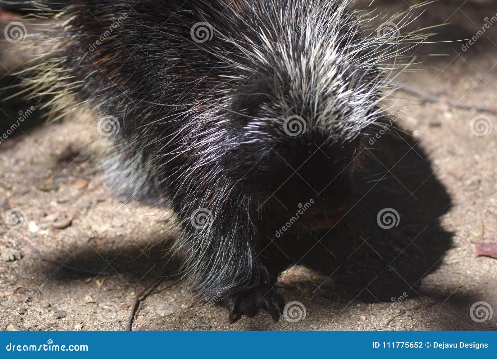 Close up photo of a black porcupine walking