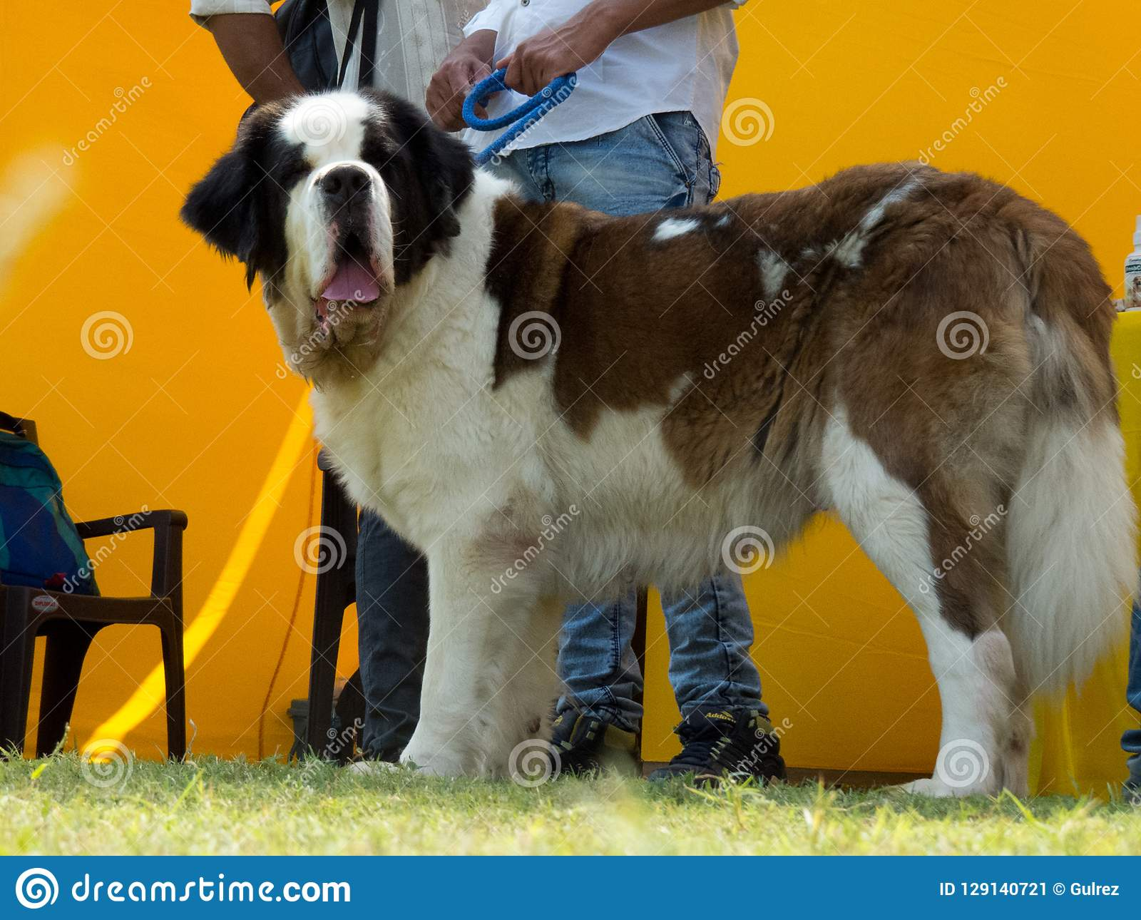 Adorable And Cuddly Big Dog St. Bernard