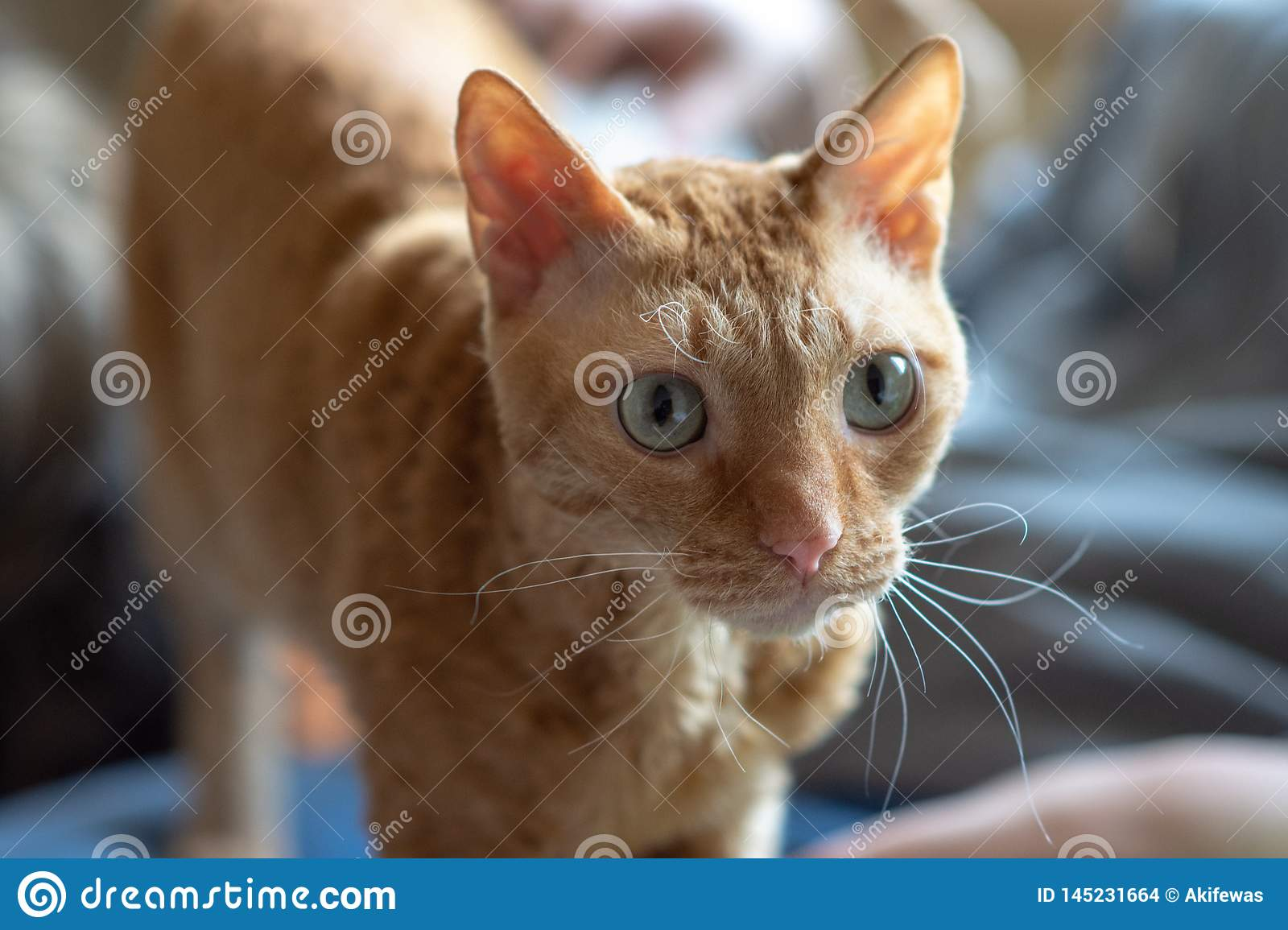 Adorable curly cat Ural Rex stands and looks forward with green eyes