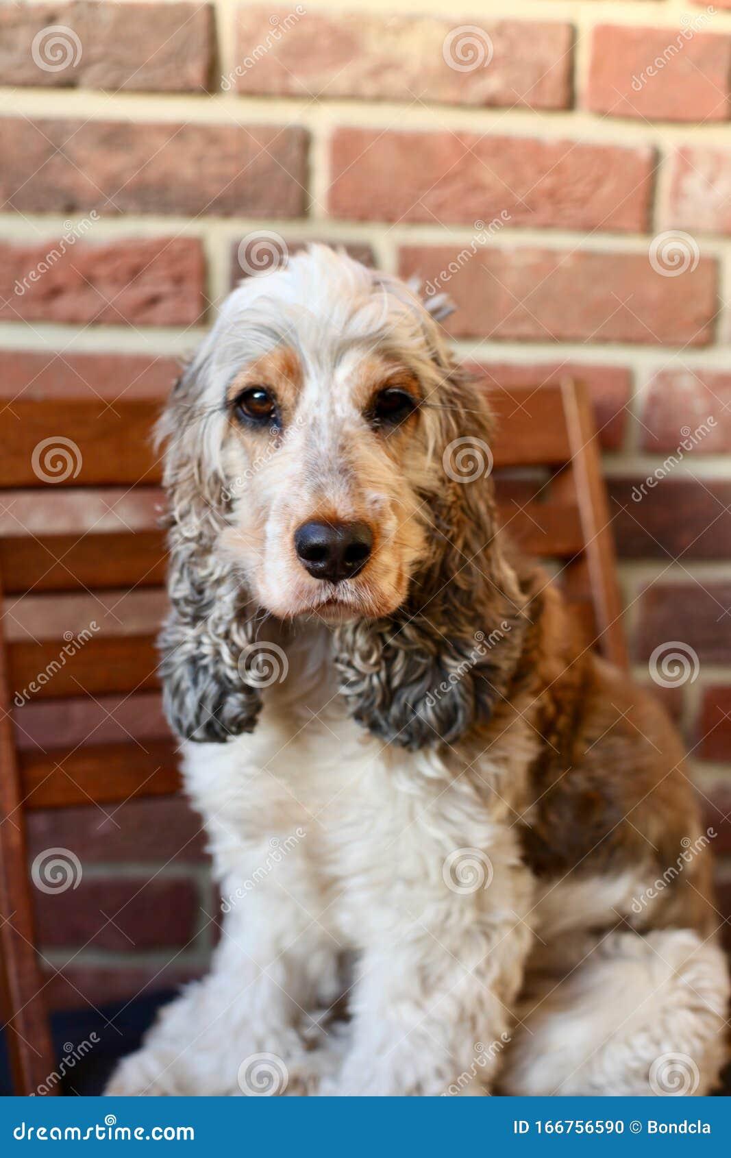 Adorable Cute Fluffy Sable Roan Cocker Spaniel Stock Photo Image Of Vera Remedy 166756590