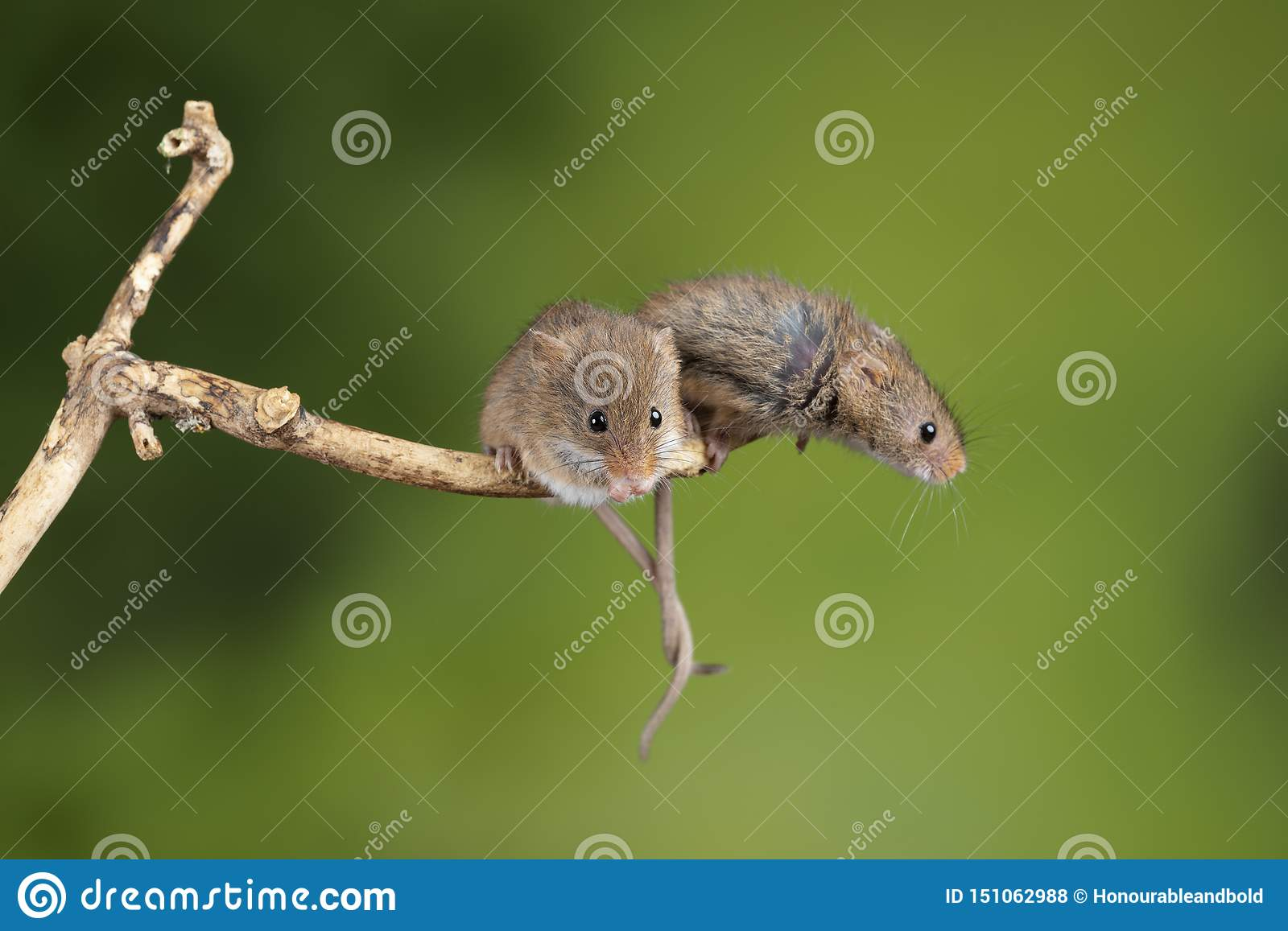 ADorable and Cute harvest mice micromys minutus on wooden stick with neutral green background in nature